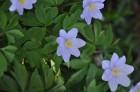 Nacionālais botāniskais dārzs aicina maijā doties nesteidzīgā pastaigā pa ziedošo akmeņdārzu 3