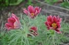 Nacionālais botāniskais dārzs aicina maijā doties nesteidzīgā pastaigā pa ziedošo akmeņdārzu 4