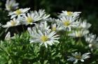 Nacionālais botāniskais dārzs aicina maijā doties nesteidzīgā pastaigā pa ziedošo akmeņdārzu 6