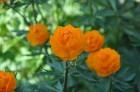 Nacionālais botāniskais dārzs aicina maijā doties nesteidzīgā pastaigā pa ziedošo akmeņdārzu 7