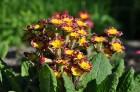 Nacionālais botāniskais dārzs aicina maijā doties nesteidzīgā pastaigā pa ziedošo akmeņdārzu 9