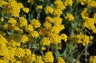 Nacionālais botāniskais dārzs aicina maijā doties nesteidzīgā pastaigā pa ziedošo akmeņdārzu 10