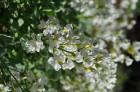 Nacionālais botāniskais dārzs aicina maijā doties nesteidzīgā pastaigā pa ziedošo akmeņdārzu 12