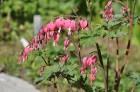 Nacionālais botāniskais dārzs aicina maijā doties nesteidzīgā pastaigā pa ziedošo akmeņdārzu 13