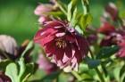 Nacionālais botāniskais dārzs aicina maijā doties nesteidzīgā pastaigā pa ziedošo akmeņdārzu 14