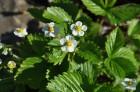Nacionālais botāniskais dārzs aicina maijā doties nesteidzīgā pastaigā pa ziedošo akmeņdārzu 18
