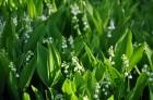 Nacionālais botāniskais dārzs aicina maijā doties nesteidzīgā pastaigā pa ziedošo akmeņdārzu 19