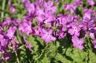 Nacionālais botāniskais dārzs aicina maijā doties nesteidzīgā pastaigā pa ziedošo akmeņdārzu 22