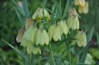 Nacionālais botāniskais dārzs aicina maijā doties nesteidzīgā pastaigā pa ziedošo akmeņdārzu 23