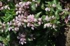 Nacionālais botāniskais dārzs aicina maijā doties nesteidzīgā pastaigā pa ziedošo akmeņdārzu 24