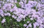 Nacionālais botāniskais dārzs aicina maijā doties nesteidzīgā pastaigā pa ziedošo akmeņdārzu 25