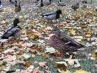Rīgas parki un dārzi pārklājas rudens zeltā 2